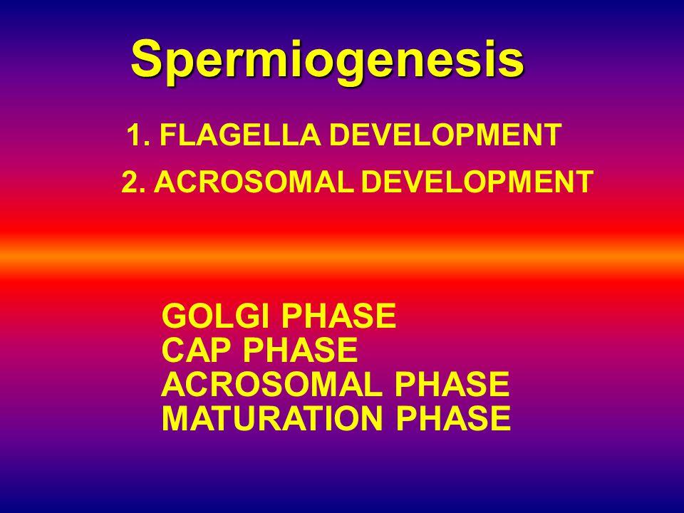 Spermiogenesis GOLGI PHASE CAP PHASE ACROSOMAL PHASE MATURATION PHASE