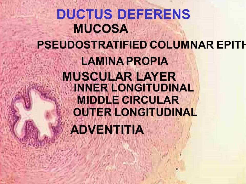PSEUDOSTRATIFIED COLUMNAR EPITHELIUM