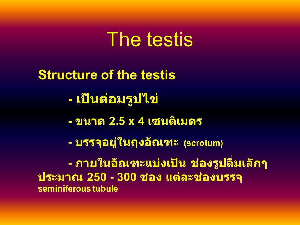 The testis Structure of the testis - เป็นต่อมรูปไข่