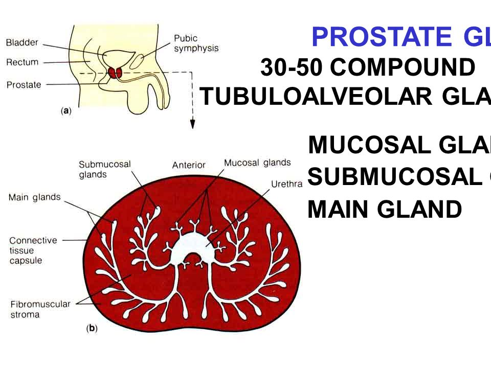 TUBULOALVEOLAR GLANDS
