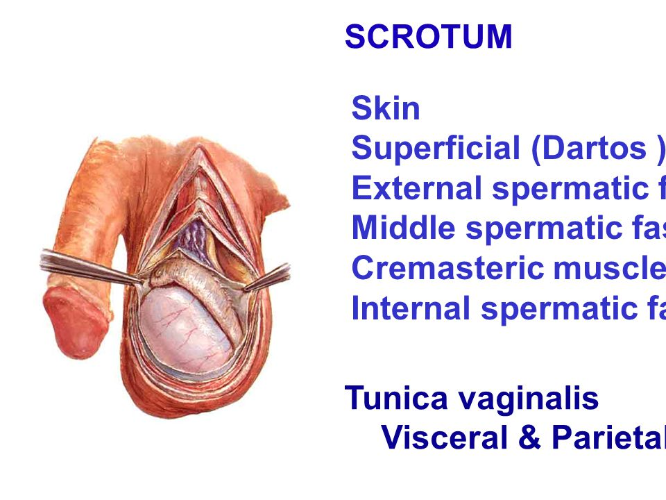 SCROTUM Skin. Superficial (Dartos ) fascia. External spermatic fascia. Middle spermatic fascia. Cremasteric muscle.