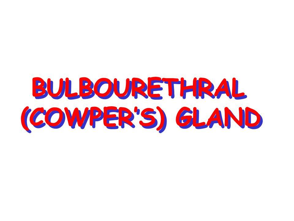 BULBOURETHRAL (COWPER'S) GLAND
