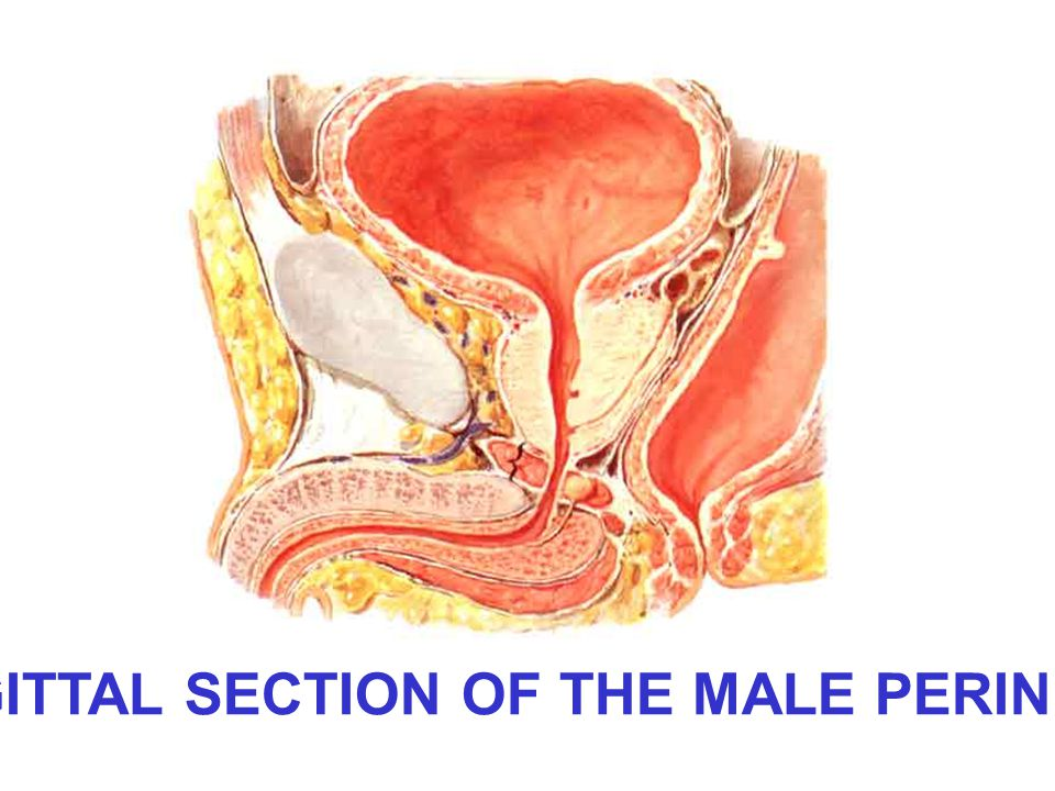 SAGITTAL SECTION OF THE MALE PERINEUM