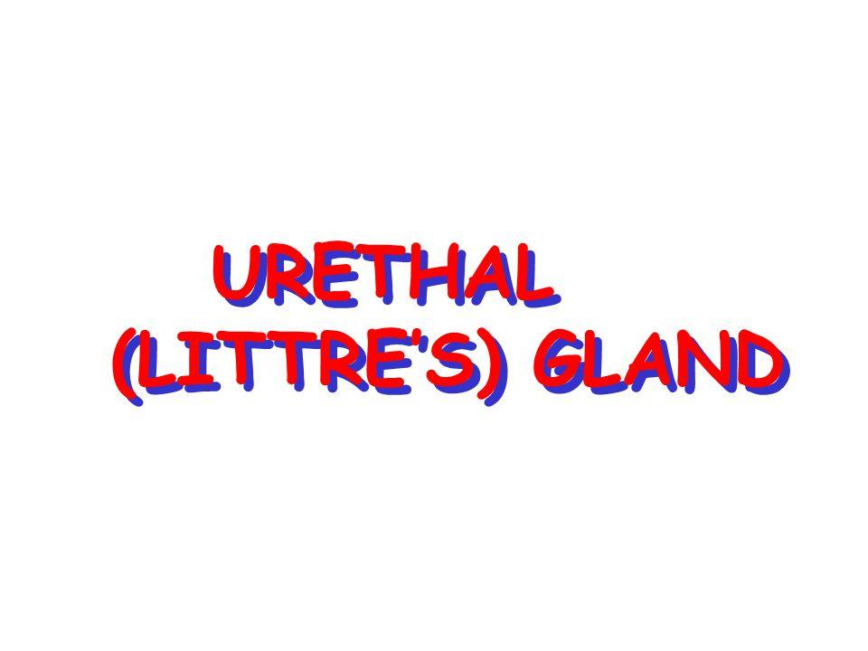 URETHAL (LITTRE'S) GLAND