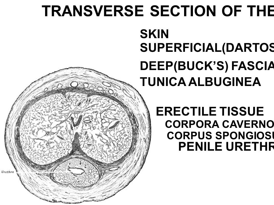 TRANSVERSE SECTION OF THE PENIS