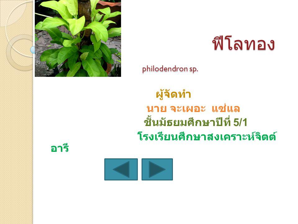 ฟีโลทอง philodendron sp.
