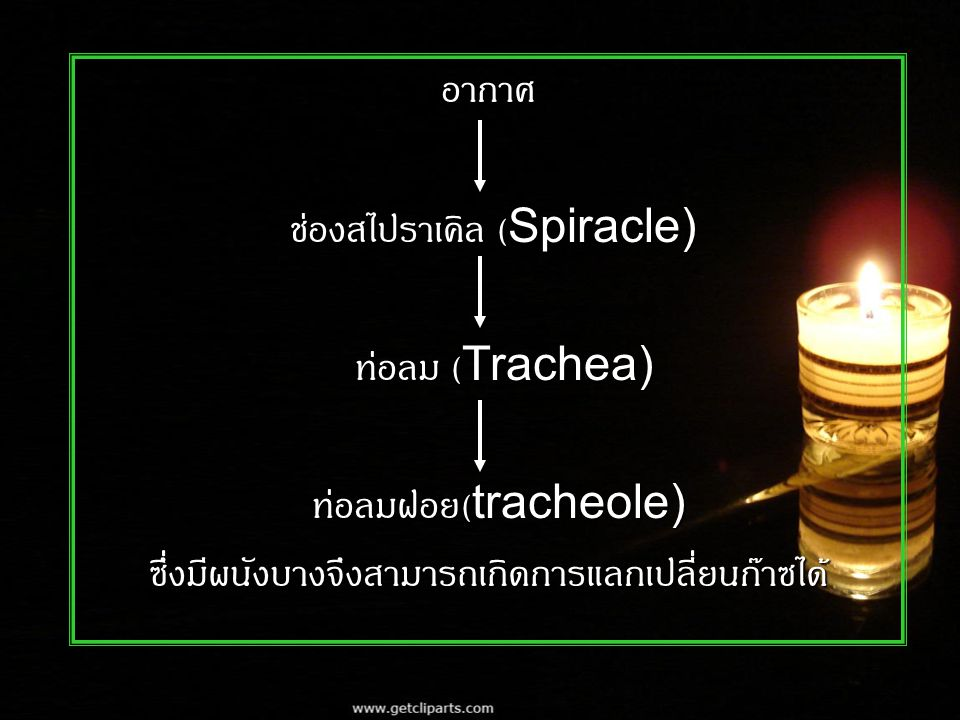 ช่องสไปราเคิล (Spiracle) ท่อลม (Trachea) ท่อลมฝอย(tracheole)
