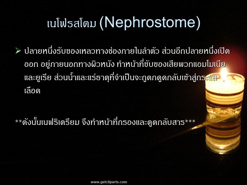 เนโฟรสโตม (Nephrostome)