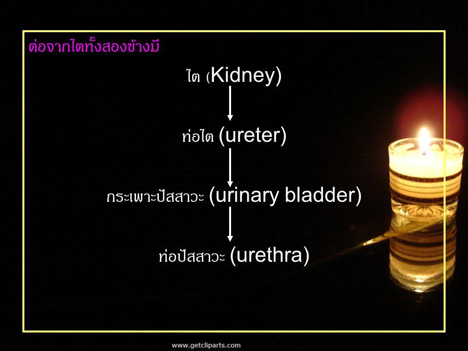 กระเพาะปัสสาวะ (urinary bladder)