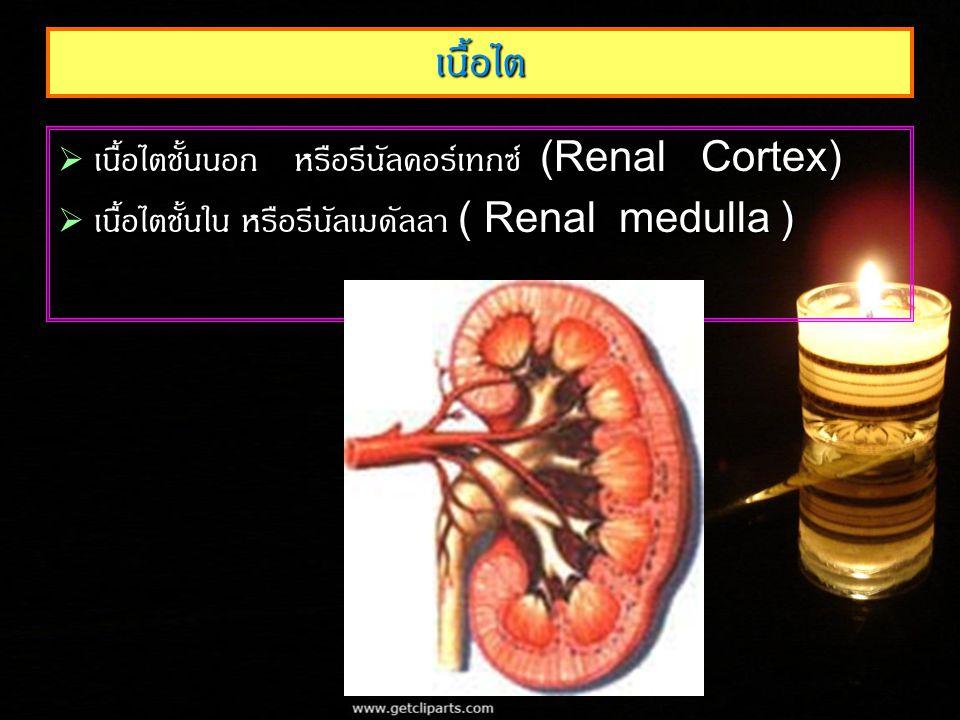 เนื้อไต เนื้อไตชั้นนอก หรือรีนัลคอร์เทกซ์ (Renal Cortex)