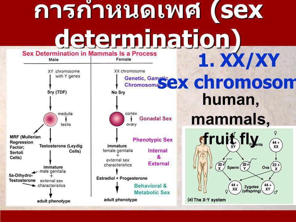 การกำหนดเพศ (sex determination)