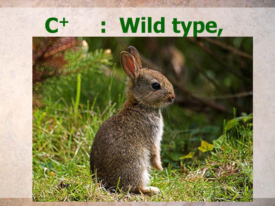 C+ : Wild type, agouti