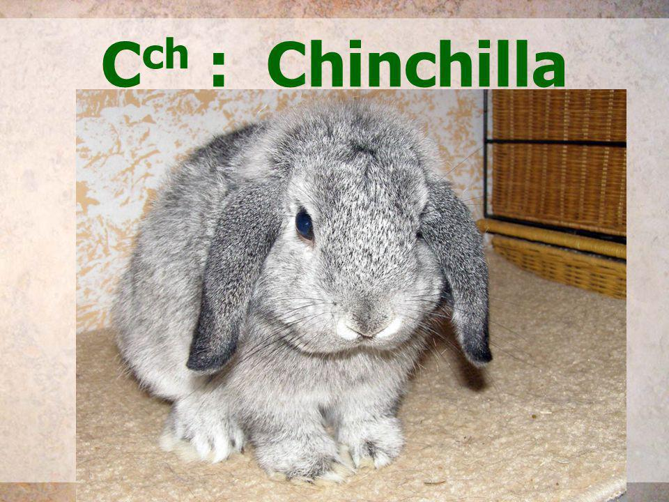 Cch : Chinchilla