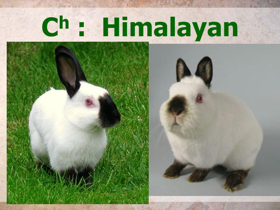 Ch : Himalayan