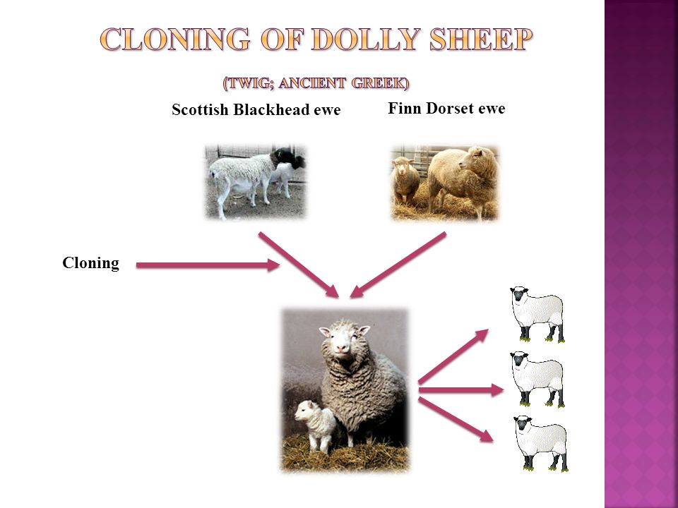 Cloning of Dolly sheep (twig; Ancient Greek)