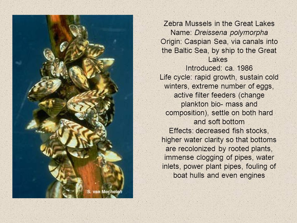 Zebra Mussels in the Great Lakes Name: Dreissena polymorpha