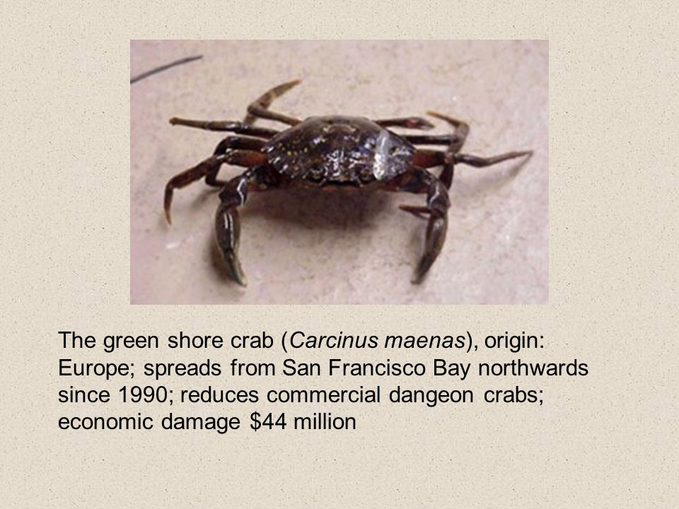 The green shore crab (Carcinus maenas), origin: Europe; spreads from San Francisco Bay northwards since 1990; reduces commercial dangeon crabs; economic damage $44 million