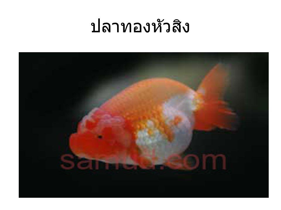 ปลาทองหัวสิง