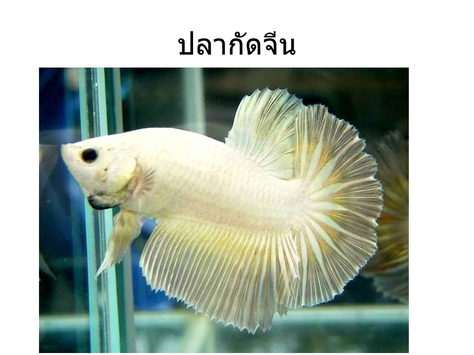 ปลากัดจีน