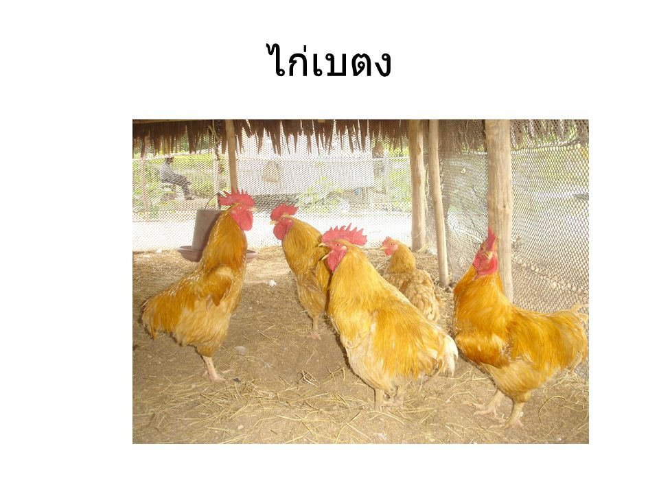 ไก่เบตง