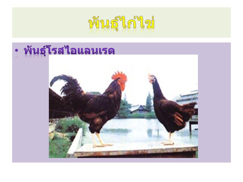 พันธุ์ไก่ไข่ พันธุ์โรสไอแลนเรด