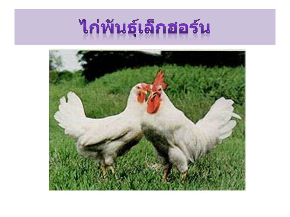 ไก่พันธุ์เล็กฮอร์น