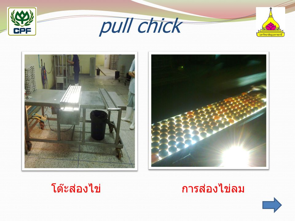 pull chick โต๊ะส่องไข่ การส่องไข่ลม