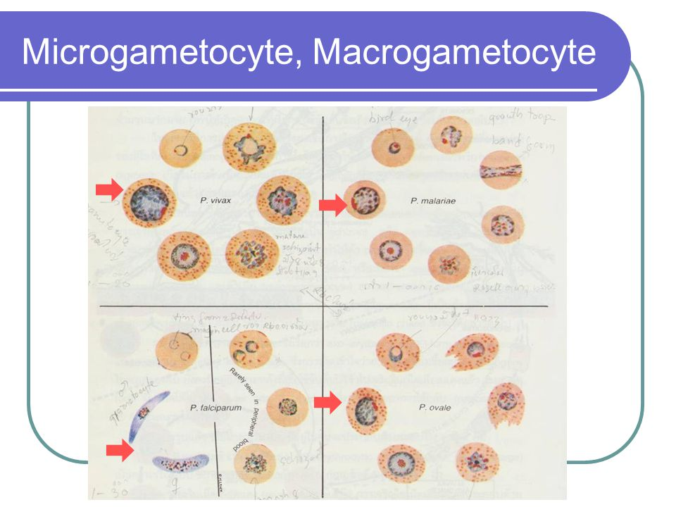 Microgametocyte, Macrogametocyte