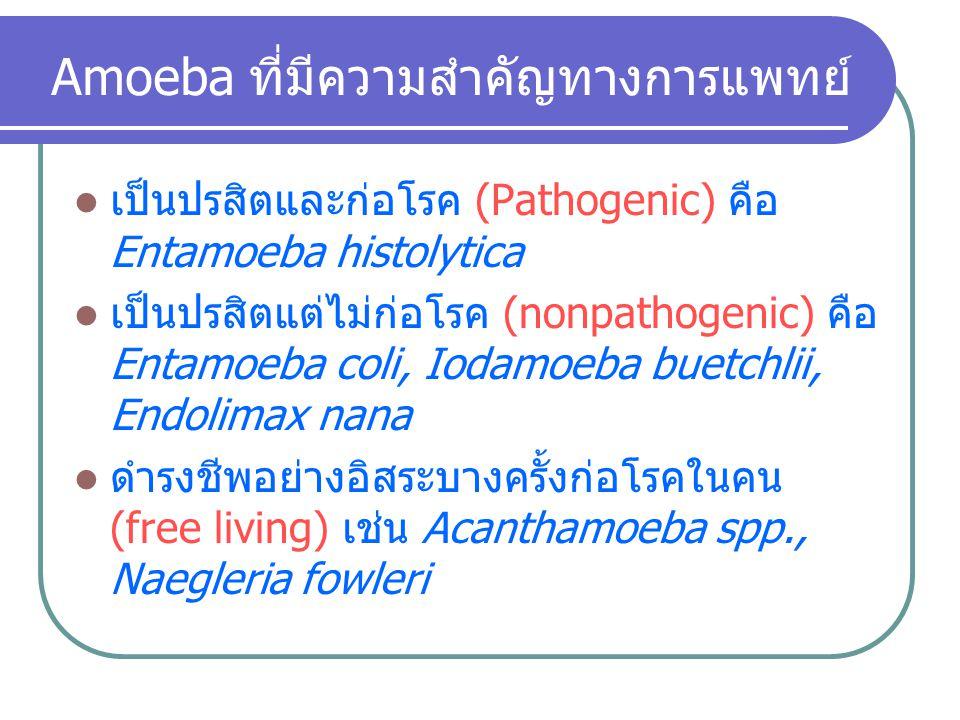 Amoeba ที่มีความสำคัญทางการแพทย์
