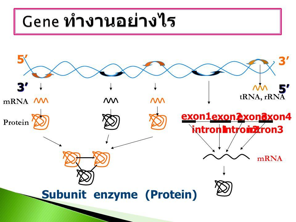 Gene ทำงานอย่างไร 5' 3' Subunit enzyme (Protein) exon1 exon2 exon3