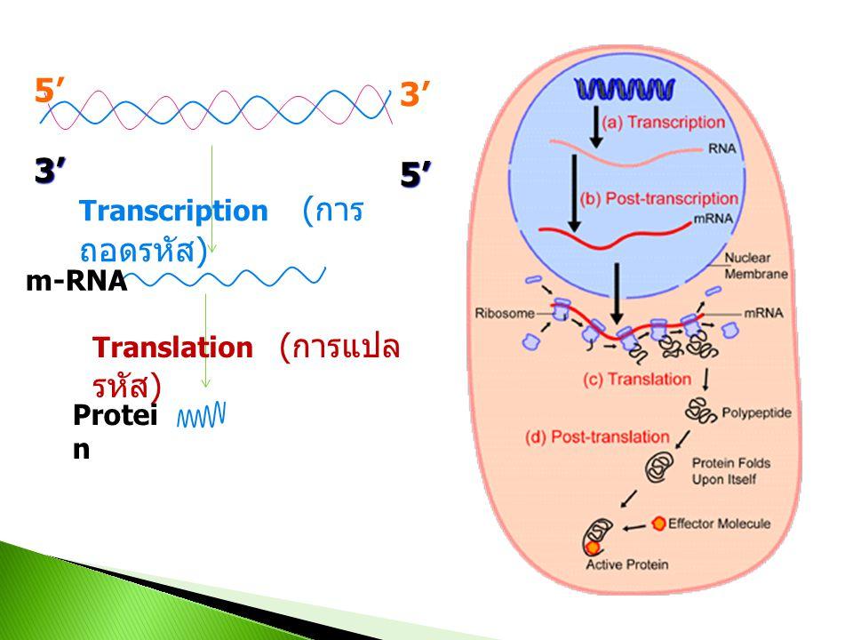 5' 3' Transcription (การถอดรหัส) m-RNA Translation (การแปลรหัส)