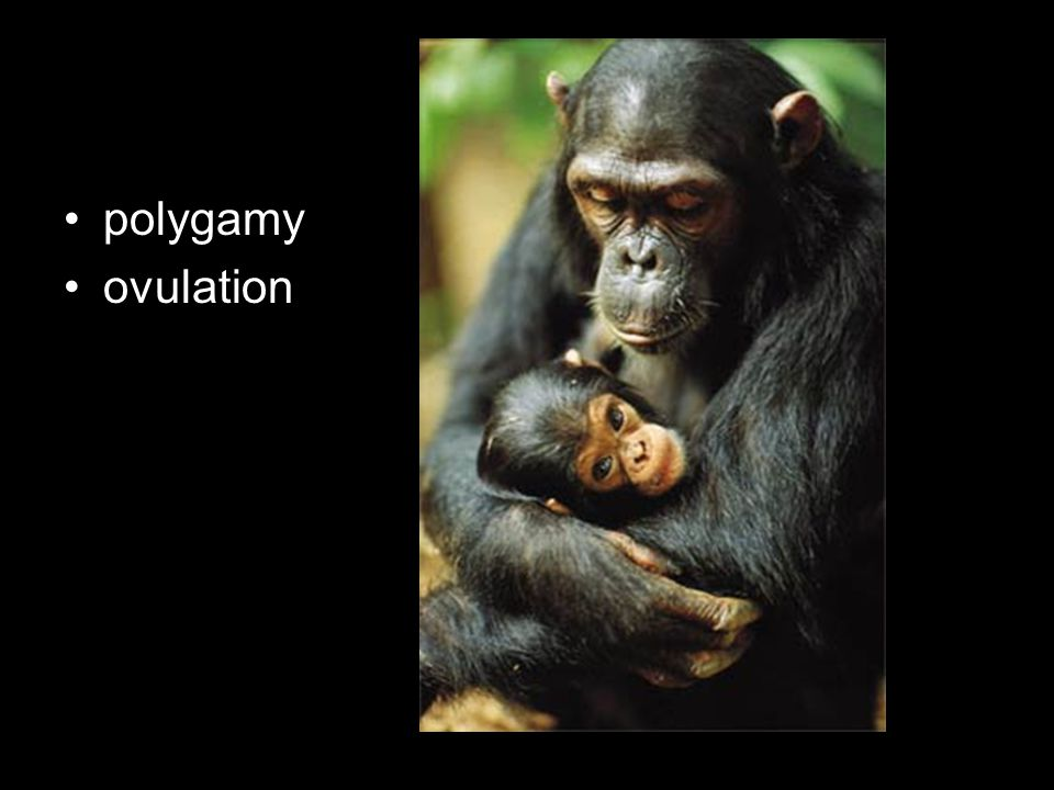 polygamy ovulation