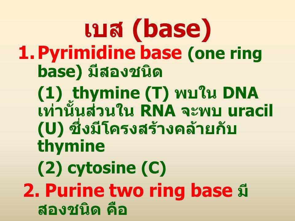 เบส (base) Pyrimidine base (one ring base) มีสองชนิด