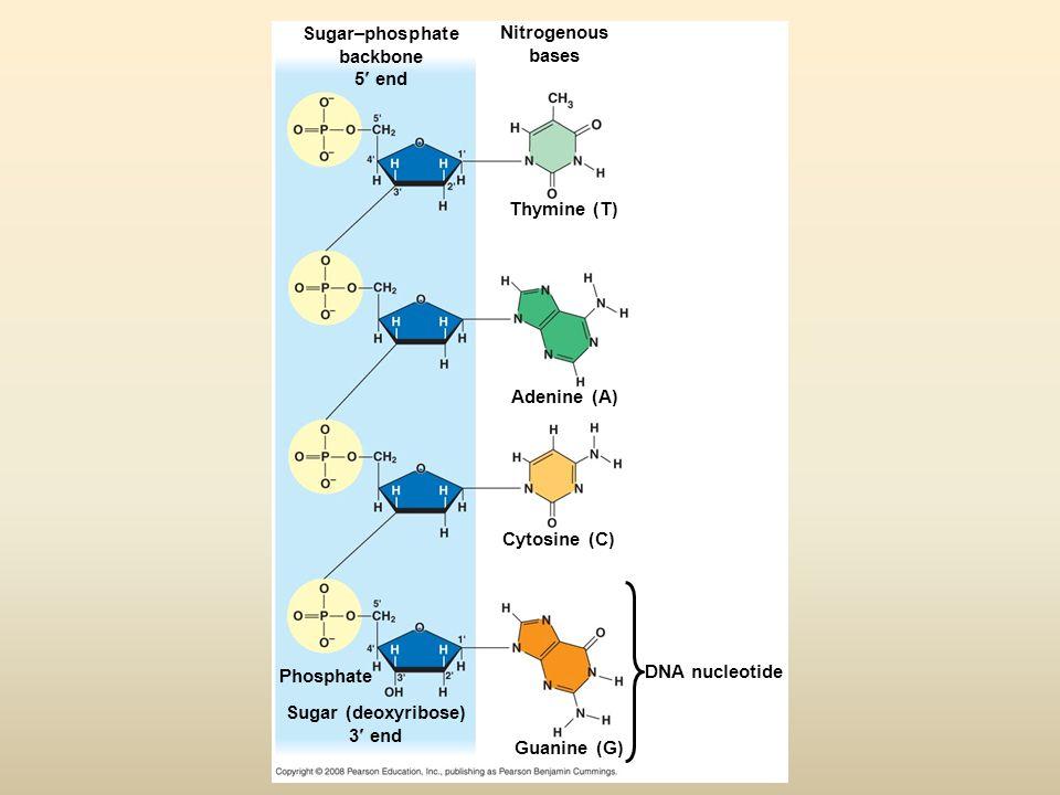 Sugar–phosphate backbone 5 end Sugar (deoxyribose) 3 end