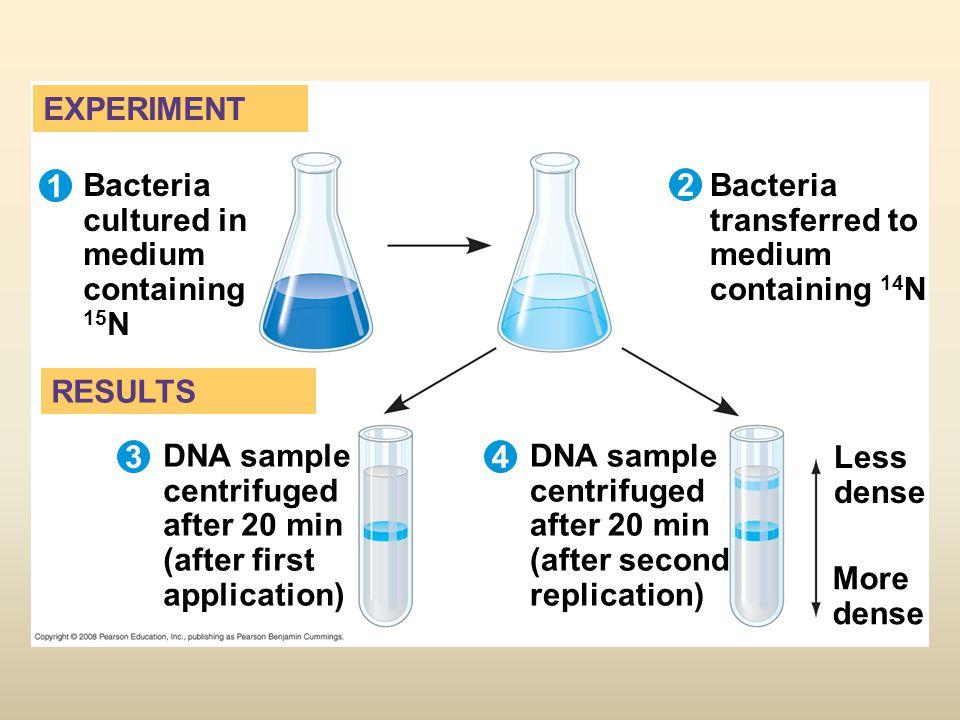 Bacteria cultured in medium containing 15N 2