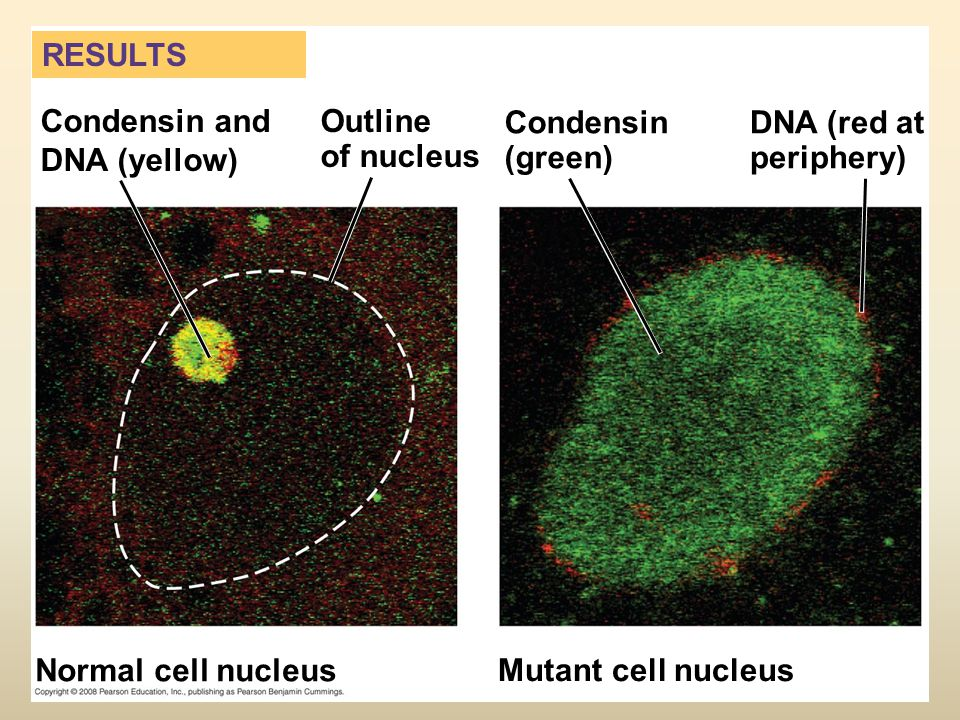 Condensin and DNA (yellow) Outline of nucleus Condensin (green)