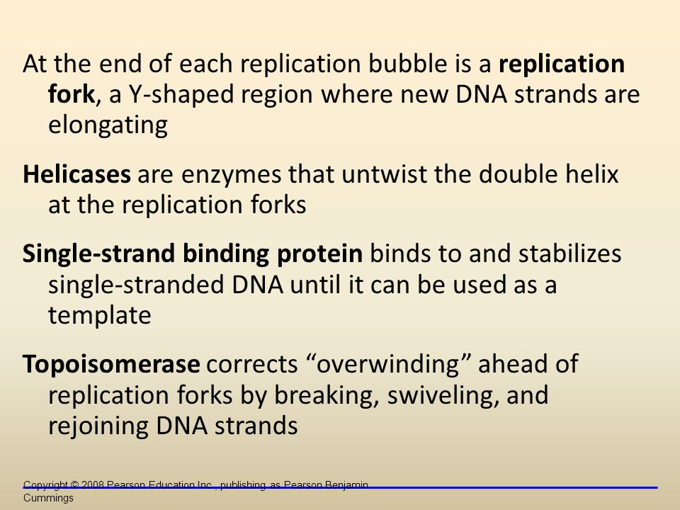 At the end of each replication bubble is a replication fork, a Y-shaped region where new DNA strands are elongating