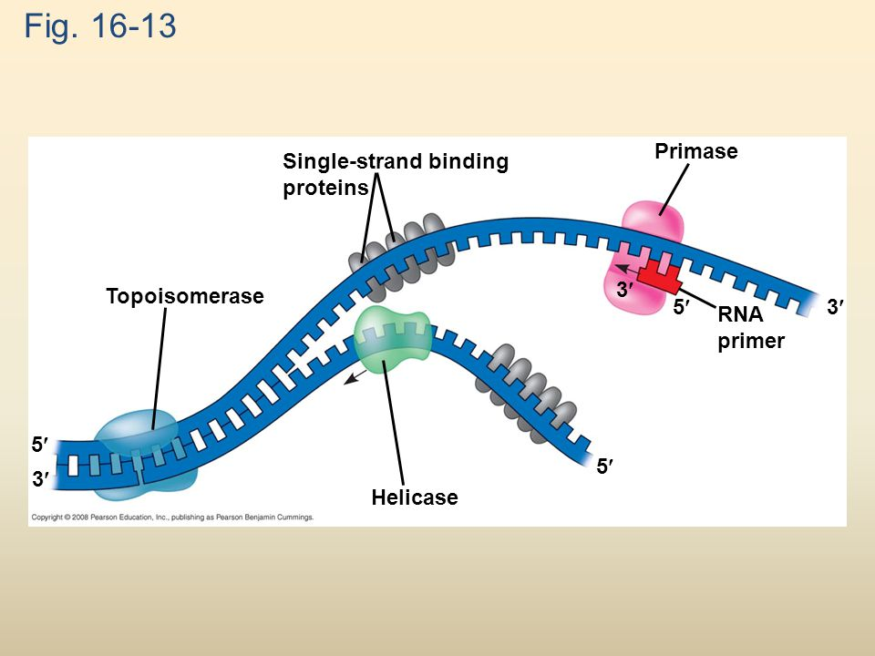 Fig. 16-13 Primase Single-strand binding proteins 3 Topoisomerase 5