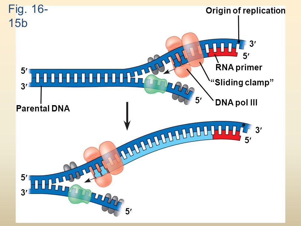 Fig. 16-15b Origin of replication 3 5 RNA primer 5 Sliding clamp