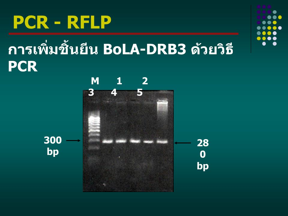PCR - RFLP การเพิ่มชิ้นยีน BoLA-DRB3 ด้วยวิธี PCR M 1 2 3 4 5 300 bp