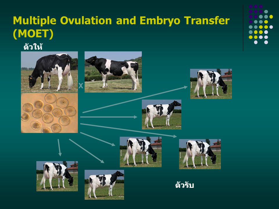 Multiple Ovulation and Embryo Transfer (MOET)