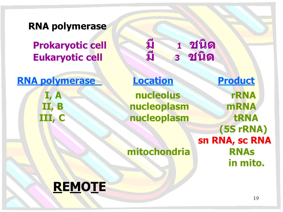 REMOTE RNA polymerase Prokaryotic cell มี 1 ชนิด