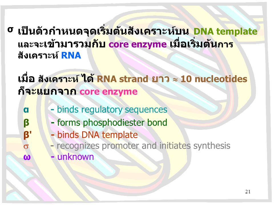เมื่อ สังเคราะห์ ได้ RNA strand ยาว  10 nucleotides