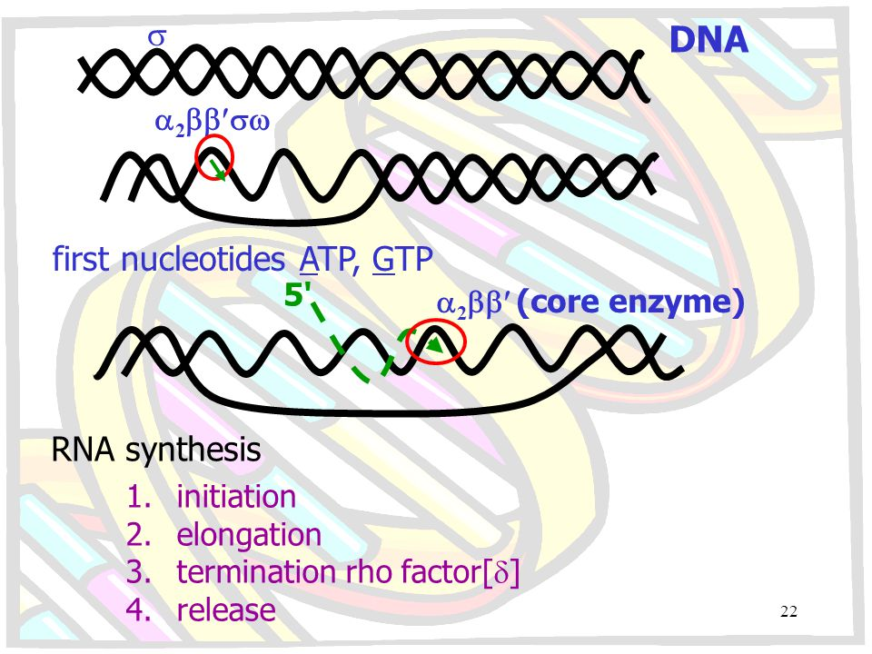 DNA  first nucleotides ATP, GTP RNA synthesis 2 5