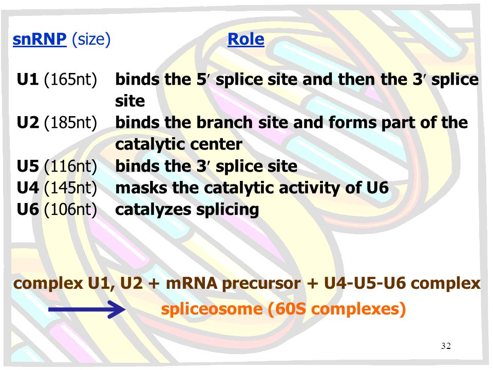 snRNP (size) Role U1 (165nt) binds the 5 splice site and then the 3 splice. site.