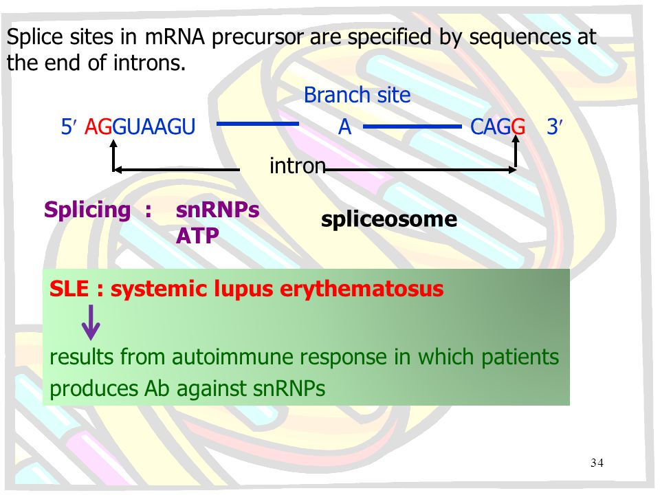Splice sites in mRNA precursor are specified by sequences at