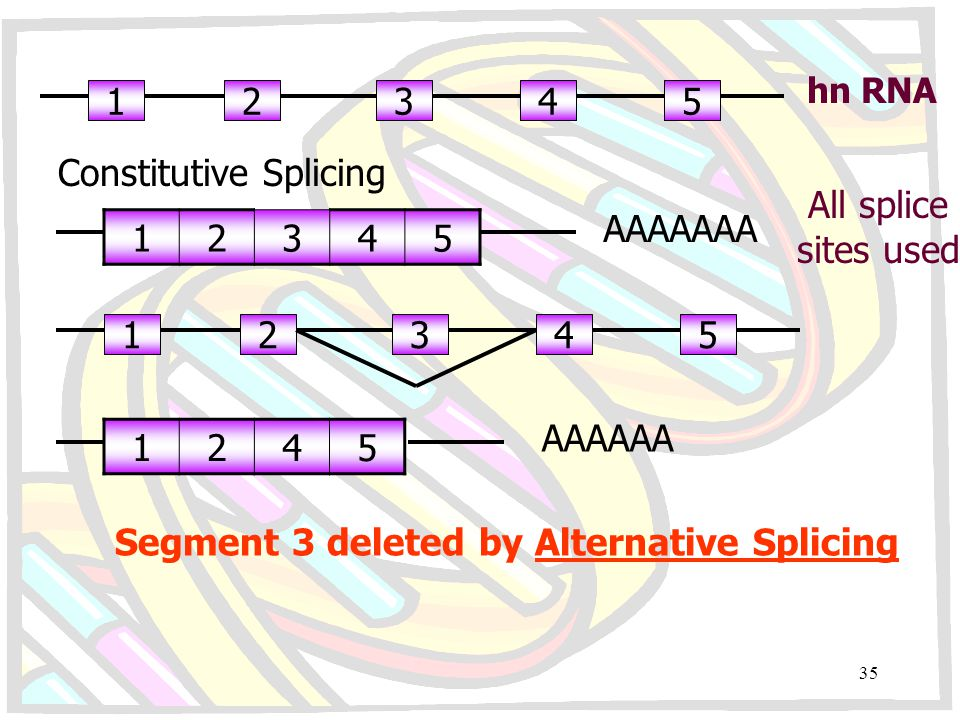 Segment 3 deleted by Alternative Splicing