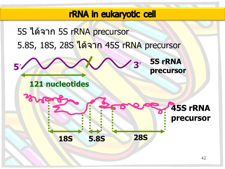 rRNA in eukaryotic cell