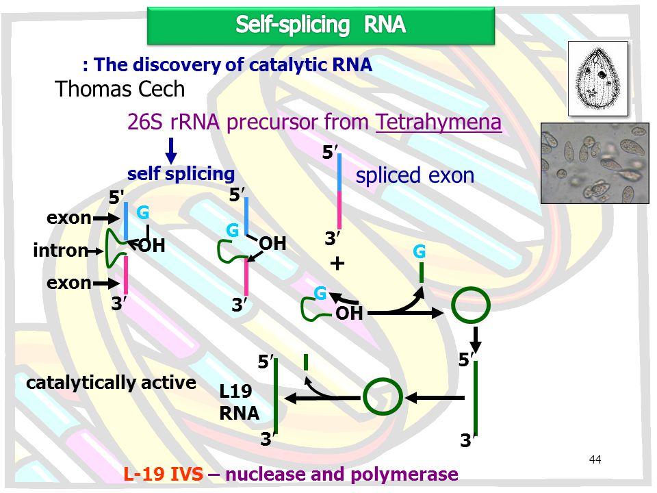 26S rRNA precursor from Tetrahymena