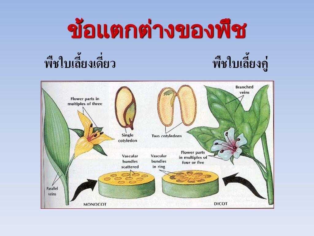 ข้อแตกต่างของพืช พืชใบเลี้ยงเดี่ยว พืชใบเลี้ยงคู่